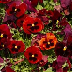 Võõrasema - Schweizer Riesen - Alpenglow - 360 seemned - Viola x wittrockiana Schweizer Riesen