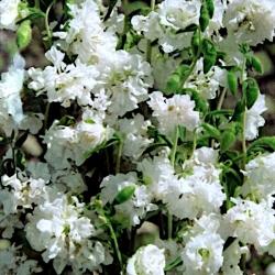 Farewell to spring - white