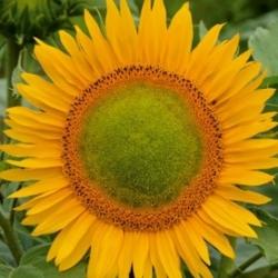 """Polish Flowers - Tall sunflower - """"Amor Amant'"""