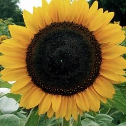 "Polish Flowers - Medium tall sunflower ""Amor Anter'"