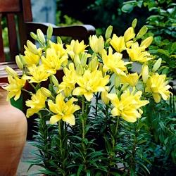 Double Asiatic lily - Cô gái Morgana -