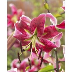 Tree lily - Miss Feya