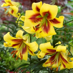 Tree lily - Robert Swanson