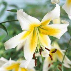 Lily pokok - Mister Pistache -