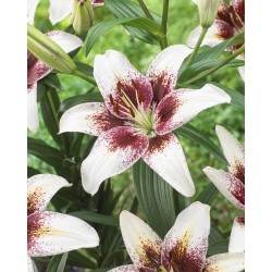 Asiatic lily - Tribal Kiss