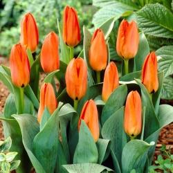 Tulipán anaranjado de bajo crecimiento - Greigii naranja - 5 piezas