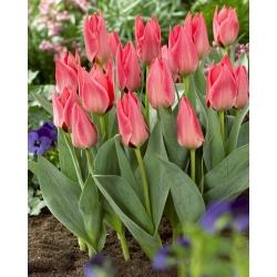 Tulipán rosa de bajo crecimiento - Greigii rosa - 5 piezas