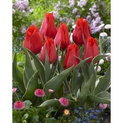Tulipán rojo de bajo crecimiento - Greigii rojo - 5 piezas