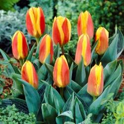 Tulipán rojo-amarillo de bajo crecimiento - Greigii rojo-amarillo - 5 piezas