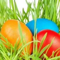 Easter Oat seeds - Avena sativa - 800 seeds