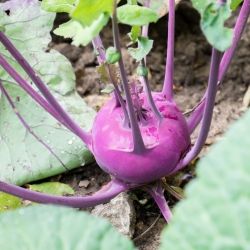 Dark purple kohlrabi 'Wener Blauwe'