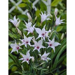 Gleznots gladiolas, Gladiolus carneus; Zobena lilija -