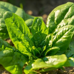 Mini Garden - Spinach for cut leaves - for cultivation on balconies and terraces; rocket