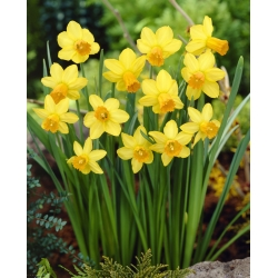 Nárcisz - Jetfire - csomag 5 darab - Narcissus