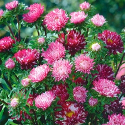 Red dwarf aster - 'Ribbon Red'