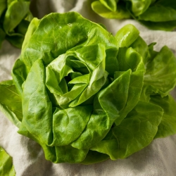 Butterhead lettuce 'Modesta' - for cultivation under covers