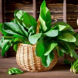 Spinach 'Orbita'