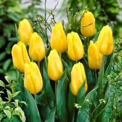 Тюльпан Yellow - пакет из 5 штук - Tulipa Yellow