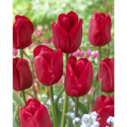 Tulipa Ile de France - paquete de 5 piezas