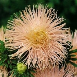 Aster kim hồng cam cánh hoa Trung Quốc, Aster hàng năm - 500 hạt - Callistephus chinensis