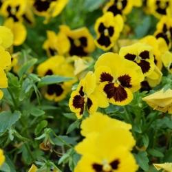 Võõrasema - kollakas - must - 400 seemned - Viola x wittrockiana