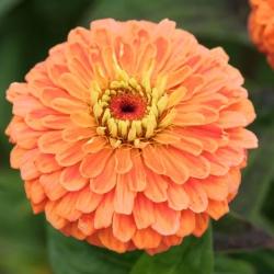 """Dahlia-flowered zinnia """"Eldorado"""" - 120 seeds"""