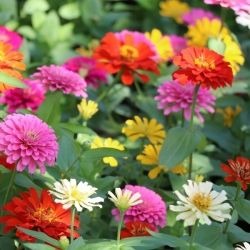 """Home Garden - Dwarf common zinnia, youth-and-age """"Pepito"""" - for indoor and balcony cultivation - 60 seeds"""