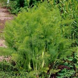 "Annual fennel ""Magnafena"" - 200 seeds"