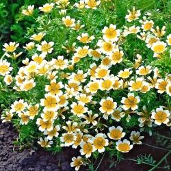 Douglasova louka - žluto-bílá; sázená vejce vejce - 117 semen - Limnanthes douglasii - semena