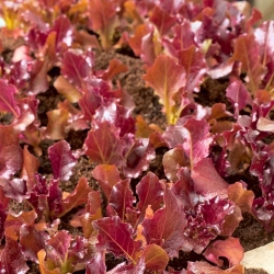Lettuce 'Biscia Rossa' - for cut leaves, cultivation in the field and in containers