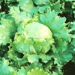 Head lettuce 'Blonde De Paris' - for spring, summer and autumn cultures