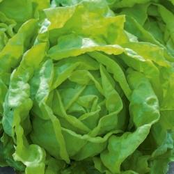 Aedsalat - Peasalat - Rozalka - Lactuca sativa  - seemned