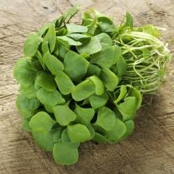 Purslane, Verdolaga seeds - Portulaca oleracea - 1100 seeds
