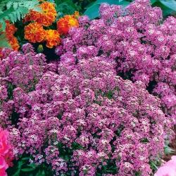 Rand - kivikilbik - roosa - 1750 seemned - Lobularia maritima