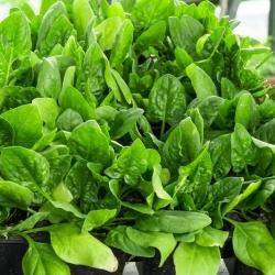"""Spinach """"Asta F1"""" - 1200 seeds"""