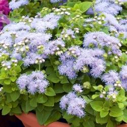 Beyaz-mavi flossflower; bluemink, blueweed, kedi ayağı, Meksika boya fırçası - 1440 tohum - Ageratum houstonianum - tohumlar