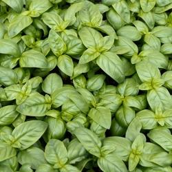 """БИО - Босиљак """"Италиано Цлассицо"""" - сертификовано органско семе - 325 семена - Ocimum basilicum"""