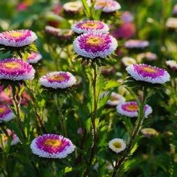 "Aster ""Liliput Moonshine"" - variety mix - 135 seeds"