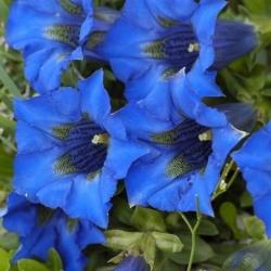 Gentian mixed seeds - Gentiana sp.