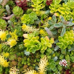 Stonecrop mixed seeds - Sedum sp. - 450 seeds