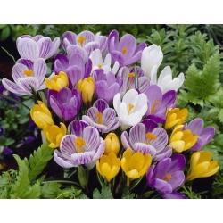 Set of 4 crocus varieties: white, yellow, purple and purple-white - 200 pcs.