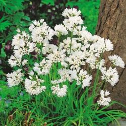 Allium Neapolitanum - pakke med 20 stk