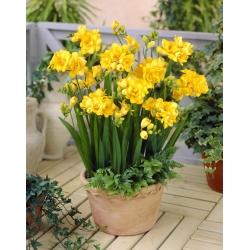 Yellow double freesia - Yellow - Paket Besar! - 100 pcs. -