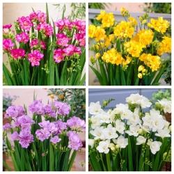 Doble fresia - conjunto de 4 variedades con flores blancas, amarillas, moradas y rosadas - 80 piezas.