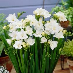White double freesia - Putih - Paket Besar! - 100 pcs. -