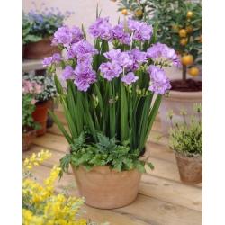 Fresia doble púrpura - ¡Paquete grande! - 100 piezas