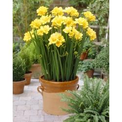 Yellow single freesia - Yellow - Paket Besar! - 100 pcs. -