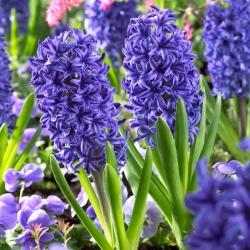 Hyacinth Blue Jacket – large pack! – 30 pcs