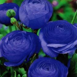 Лютик - синий - пакет из 10 штук - Ranunculus