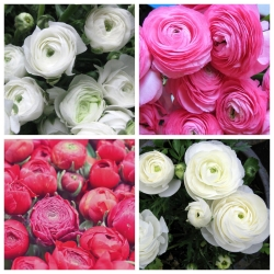الحوذان الوردي + الحوذان البيضاء - 100 قطعة. -
